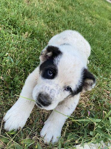 Чистокровный щенок Алабай ищет заботливых хозяев  Мальчик, возраст 46