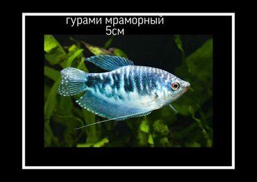 фонтан из мрамора в Кыргызстан: Продам Гурами мраморных 3-6см. Возраст 5-8мес. Очень активные, хорошо