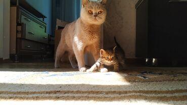 Продаем!!!! И бронь открыта, 1 месяц котятам.Британские котята