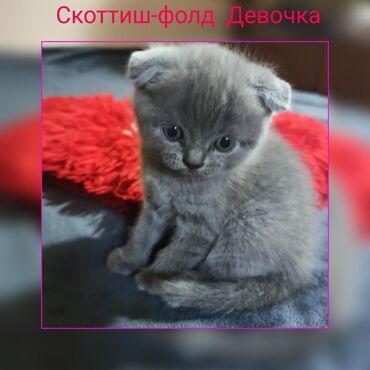 Продаются милые, добрые,активные,жизнерадостные котята,шотландской по