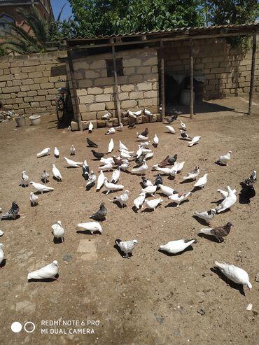 18 elan   HEYVANLAR: Ela uçan quşlardi Ələt qəsəbəsi 50 denesi 3 manatdan satilir qiymetde