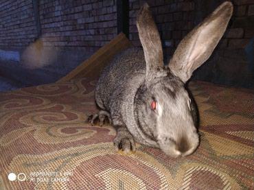 Кролики 5мес,4 самца вес 4-4.5 кг (мать 8 кг).Отдам по 700 сомов. в Джалал-Абад