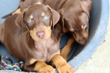 Dobermann Puppies Fantastically bred Dobermann Puppies. a combination