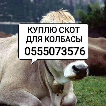 Куплю скот в любом виде, сами заберём. звонить в любое время суток