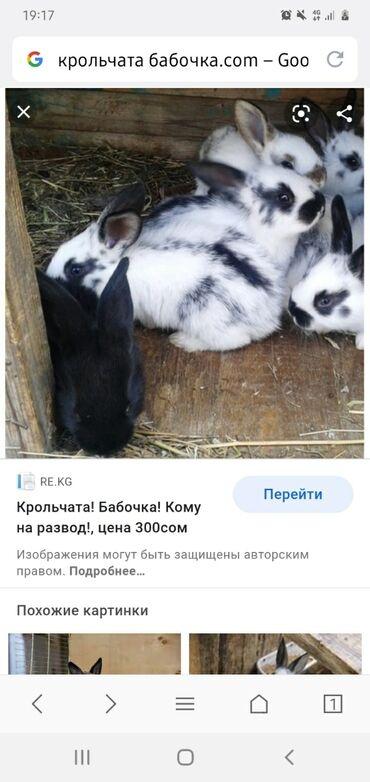 Бака жалбырактын пайдасы - Кыргызстан: Үй коёндору