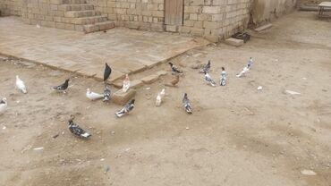 Təmiz efqanka Qarabaw kekililer di qiymət 1 rine aitdi