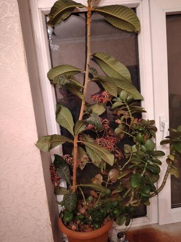 Yapon ezgili (musmulla) 2 illik bitki