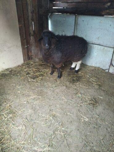Бараны, овцы - Порода: Другая порода - Бишкек: Продаю | Овца (самка) | Ярка