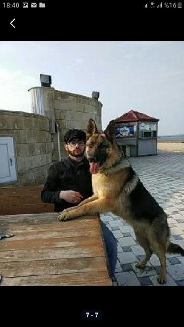 nemes avcarkasi - Azərbaycan: Alman avcarkasi neheng itdi 1yas 8 ay erazini yaxsi qoruyur adi