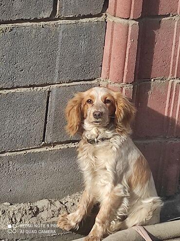 Продаю собаку породы русский спаниельмальчик -7-8мес .1500 сом