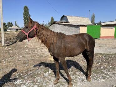 9 объявлений | ЖИВОТНЫЕ: Продаю | Жеребец | Конный спорт | Племенные