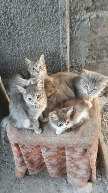 Коты - Кок-Ой: Отдадим котят в добрые руки (3 девочки, 1 мальчик).Игривые, кушают