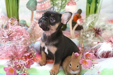 French Bulldog Puppies For AdoptionWhatsApp me +33 French Bulldog