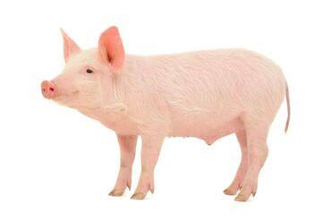 52 объявлений: Продаю мясо свинину тушами. Доставка по Бишкеку и пригороду