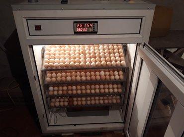 Xırdalan şəhərində (704 yumurtalıq)inkubatorun qiymeti yumurta tutumuna görə