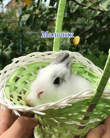 здоров мом крем бишкек в Кыргызстан: Продаются !!! Элитные декоративные кролики вида Миноры!Кролики