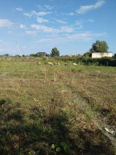 aro 24 27 mt - Azərbaycan: 24 baş damazlıq qoyunlar ana qoyunlar qocasıda var saglam qoyunlardı
