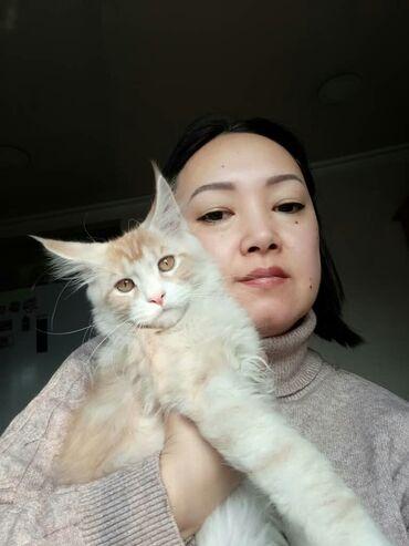 котенок в Кыргызстан: Продается котенок породы Мэй Кун, шикарный окрас