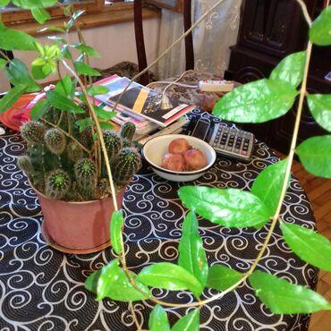 Kaktus - Azərbaycan: DİBÇƏK KAKTUS 15 İLLİKDİR NAR AĞACI İLƏ BİRLİKDƏ  ÇƏYİRDƏKDƏN ƏKİLMİŞ
