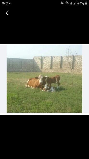 ferma satilir 2020 in Azərbaycan   KOMMERSIYA DAŞINMAZ ƏMLAKININ SATIŞI: Ferma işlərinə çoban aylələr tələb olunur işlər müxtəlifdi