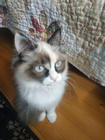Ухоженная кошка, в хорошие руки, есть паспорт, прививки сделаны,отдаю