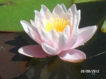 Нимфеи водяные лилии для декора пруда