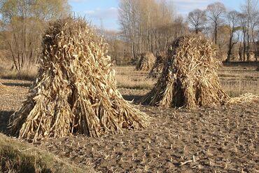 188 объявлений: Продаётся кукуруза в связке, село Петровка нижняя зона. Цена договорна