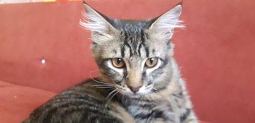 Отдам молодого котика в добрые руки.  Светлана в Бишкек