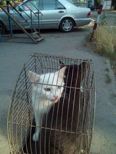 Продаются котята. Мама Шотландская вислоухая кошка, папа скоттиш-страй