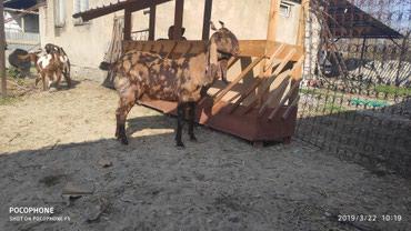 Продаю коз породы битал и камори в Бишкек