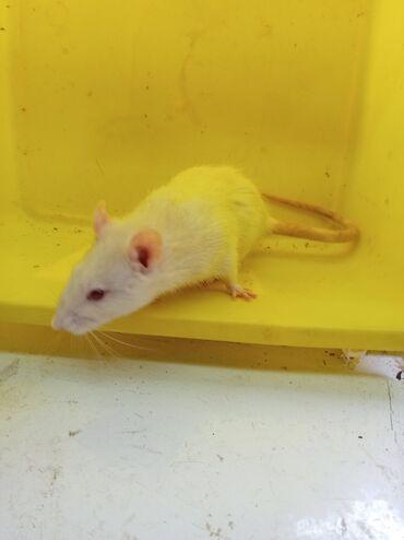 Крыса в хорошие руки