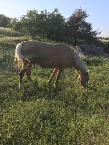 Лошадь Эркек 3 года