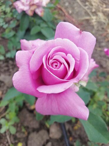Kuća i bašta - Odzaci: Plava ruža, raste do 1m
