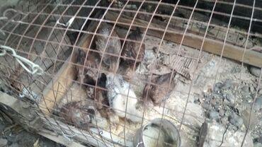 продажа цыплят в бишкеке в Кыргызстан: Продаются цыплята карликовые бентамки возраст 1.5 месяца и 2 месячные