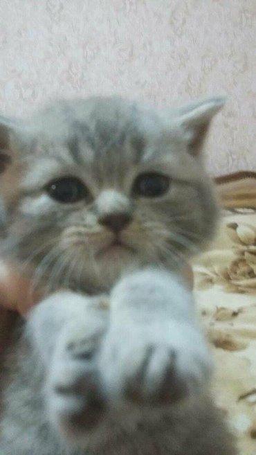 Bakı şəhərində Шотландские котята пятно на серебреНа продаже шотландские вислоухие