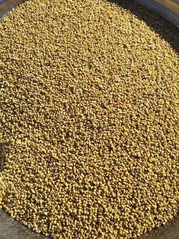 Продаю семена люцерны, семена этого в Бишкек