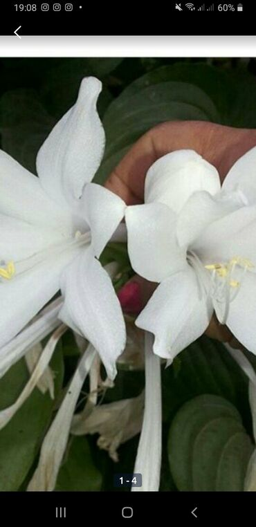 Otaq bitkiləri Xırdalanda: Xostalar satılır isteyenler satılır