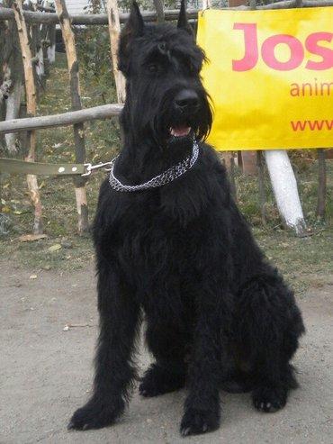 Bakı şəhərində щенки riesenschnauze. один из самых лучших охранных и верных пород соб