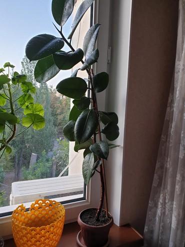 Продаю фикус чёрный принц для дома и офиса. очищает воздух и не непр