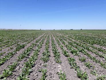 корова купить цена в Кыргызстан: Куплю землю сельхозназначения в жайылском и панфиловском районах, ниже