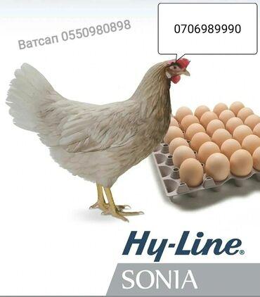 продажа кур несушек в бишкеке в Кыргызстан: Продаются инкубационные яйца несушек Хай Лайн Сони.Куры начинают