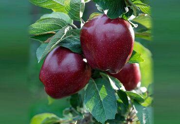 Яблоки цена за 1 кг - Кыргызстан: Ассалому алейкумБиз Кадамжай районунда ар турдуу кочотторду улаштырып