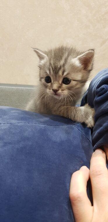 Коты - Кыргызстан: Продаю котёнка Скотиш страйт,шотландская прямоухая.Приучен к