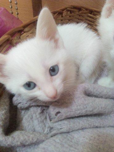 домашние котята в Азербайджан: Продаются котята Као Мани и Тайца, 2 месяца. К лотку приучены, игривые