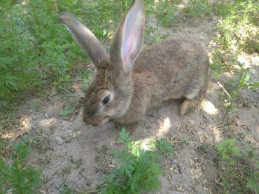 32 объявлений | ЖИВОТНЫЕ: Кролики Серый Великан 750сом