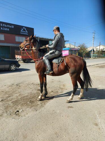 242 объявлений | ЖИВОТНЫЕ: Продаю | Жеребец | Кара Жорго | Конный спорт | Племенные