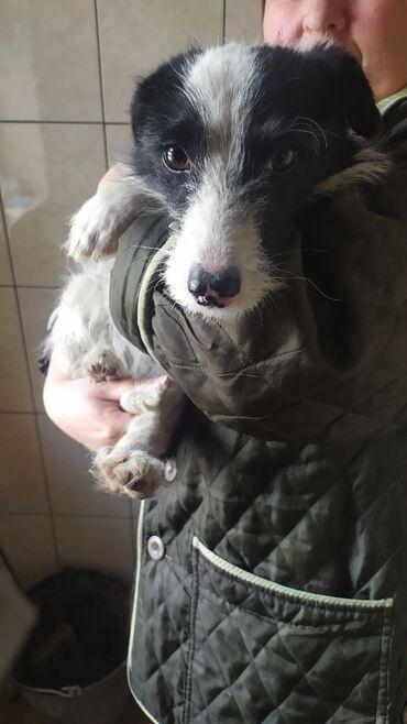 даром животные в Кыргызстан: Отдадим даром собаку в хорошие руки окрас белопятнистыйигривый