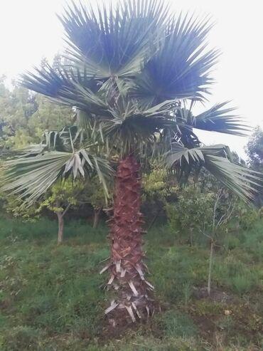 Otaq bitkiləri Neftçalada: 14 yaşında yaxşı qulluq edilmiş 4 ədəd Palma ağacı. Qiymət 4 ədədin üm