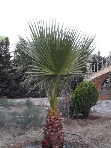 Otaq bitkiləri - Azərbaycan: Xarici washington palmasi2.5-3 metrlik (10 illik)Real alicilar