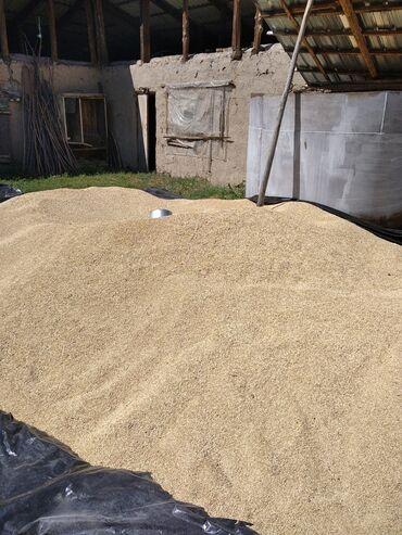 Животные - Александровка: Продаю канадский ячмень семенной норма на гектар 120 кг